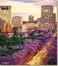 Jacaranda's in full bloom